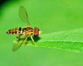 Hover fly perched on a green leaf Stock Photography