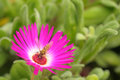 Hover fly on pink flower in garden in summer day Royalty Free Stock Photography