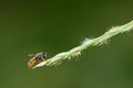 Hover fly a small on grass spike Stock Photography