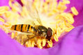 Hoverfly Stock Photography