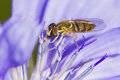 Hoverfly collecting nectar from chicory flower cichorium intybus Stock Photo