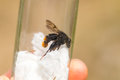 Hoverfly, Criorhina ranuculi male, sedated in a glass container Royalty Free Stock Photo