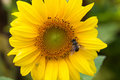 Hoverfly Eristalis On Sunflowe...