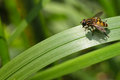 Hoverfly on grass hover fly mimicry Royalty Free Stock Image