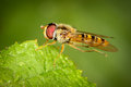 Hoverfly on leaf Royalty Free Stock Photo
