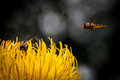 Hoverfly macro Royalty Free Stock Photo