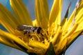 Hoverfly macro Royalty Free Stock Photo
