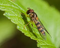 Hoverfly meliscaeva cinctella in close up sitting on green leaf Royalty Free Stock Image