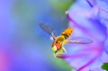 Hoverfly perched on a flower collecting pollen Royalty Free Stock Photography