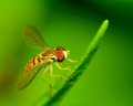 Hoverfly a perched on a plant leaf Royalty Free Stock Photography