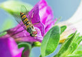 Hoverfly Royalty Free Stock Photo