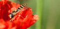 Hoverfly at rest on poppy sphaerophoria spp papaver spp in autumnal sunshine Royalty Free Stock Photo