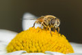 Hoverfly sits on a camomile Royalty Free Stock Photo