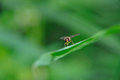 Hoverfly syrphidae with red eyes Royalty Free Stock Image