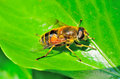 Hoverfly yellow and black striped abdomen resting in the sunshine on a green ivy leaf macro photograph Royalty Free Stock Photo
