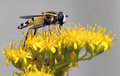 Hoverfly on a yellow flower Stock Photo