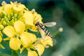 Hoverfly on a yellow flower Royalty Free Stock Photo