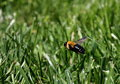 Hovering bee above mown grass one freshly mowed green shining in the bright spring sunlight watch your step Stock Image