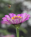 Hovering bee zinnia flower with in garden Stock Photography