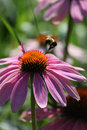 Hovering bumblebee a over a purple cone flower Royalty Free Stock Photo