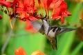Hovering hummingbird feeding on crocosmia female ruby throated at flower in garden Stock Photos