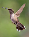 Hovering hummingbird a ruby throated against a blurred background Royalty Free Stock Photo