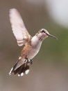 Hovering hummingbird a ruby throated against a blurred background Royalty Free Stock Images