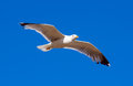 Hovering seagull against blue sky Stock Photo