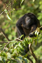 Howler monkey Stock Photos