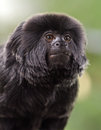 Howler monkey Stock Photography
