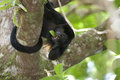Howler monkey Royalty Free Stock Photos