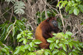 Howler monkey in the amazon rain forest Royalty Free Stock Photo