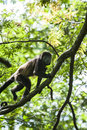 Howler monkey climbing in a tree in the rain forest canopy Stock Image