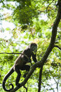 Howler monkey climbing in a tree in the rain forest canopy Royalty Free Stock Photography