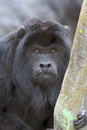 Howler monkey close up detail of black male simian Royalty Free Stock Photo