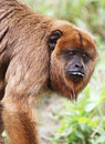 Howler monkey close up detail of brown female simian Stock Photo
