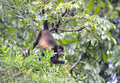 Howler monkey feeding hanging from tail refugio de vida silvest in tree silvestre cuero y salado honduras central america black in Royalty Free Stock Image
