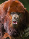 Howler monkey a howling sitting on a branch Royalty Free Stock Photography