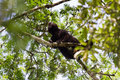 Howler monkey loud adult male on top of a tree in guatemala Royalty Free Stock Photo
