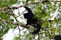 Howler monkey loud adult male on top of a tree in guatemala Stock Image