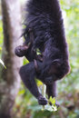 Howler monkey Mother and baby Royalty Free Stock Photo