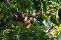 Howler monkey in pantanal, Brazil Stock Photo