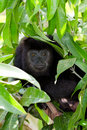 Howler monkey in the rain forest of belize Royalty Free Stock Photos