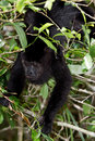 Howler monkey in the rain forest of belize Stock Image