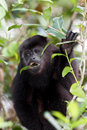 Howler monkey in the rain forest of belize Stock Photos