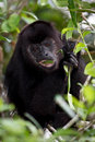 Howler monkey in the rain forest of belize Royalty Free Stock Photo