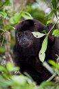Howler monkey in the rain forest of belize Royalty Free Stock Image