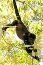 Howler monkey in tree Royalty Free Stock Photography