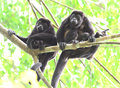 Howler monkey troop in tree with baby, corcovad0, costa rica Royalty Free Stock Photo