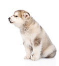 Howling alaskan malamute puppy dog in profile. isolated on white Royalty Free Stock Photo